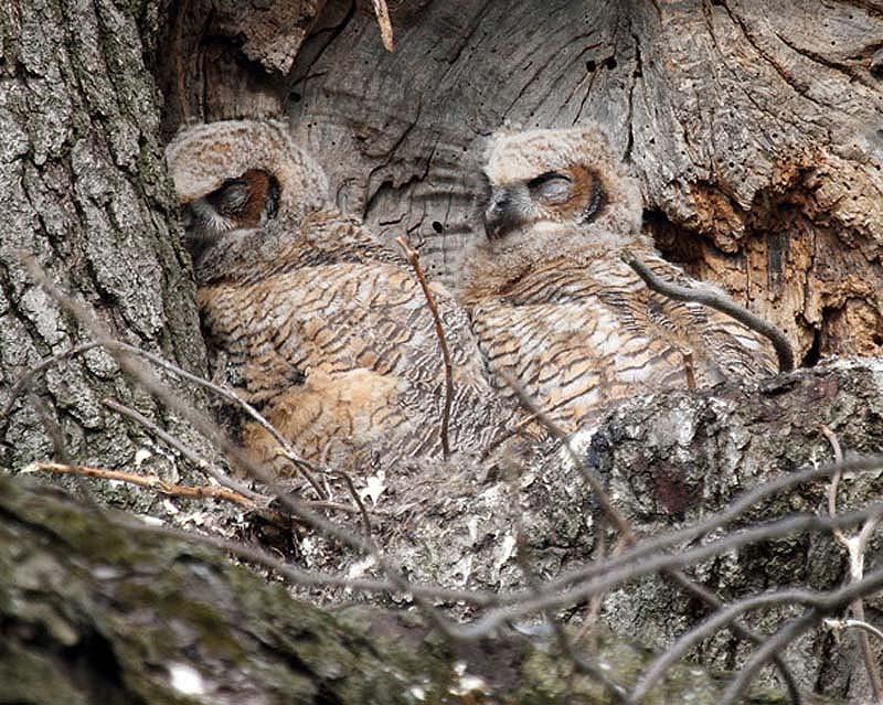 owl 14 Совы   мастера камуфляжа