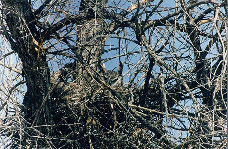 owl 17 Совы   мастера камуфляжа