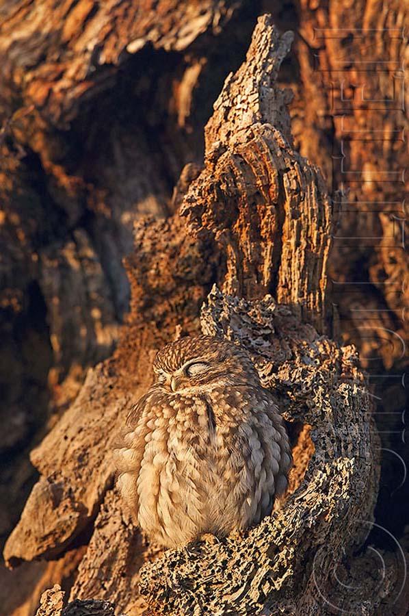 owl 18 Совы   мастера камуфляжа