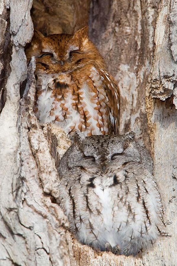 owl 19 Совы   мастера камуфляжа