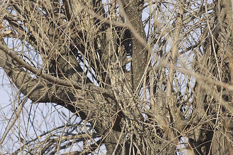 owl 20 Совы   мастера камуфляжа