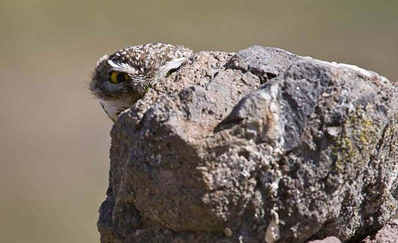 owl 21 Совы   мастера камуфляжа
