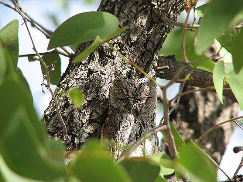 owl 5 Совы   мастера камуфляжа