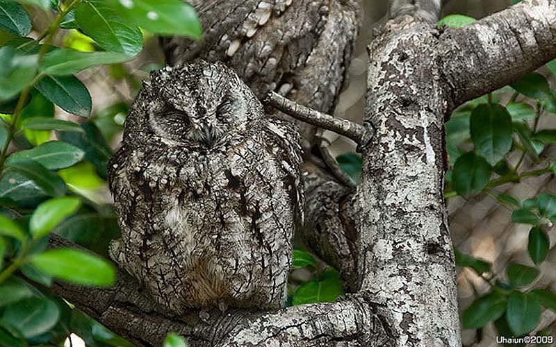 owl 8 Совы   мастера камуфляжа
