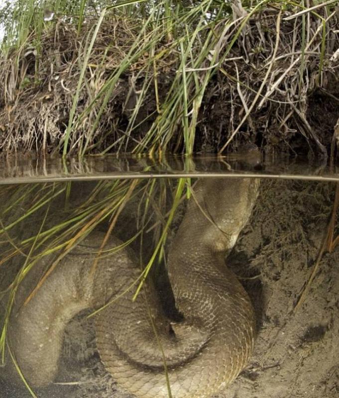 036 Дайвер сделал потрясающие фото анаконды под водой