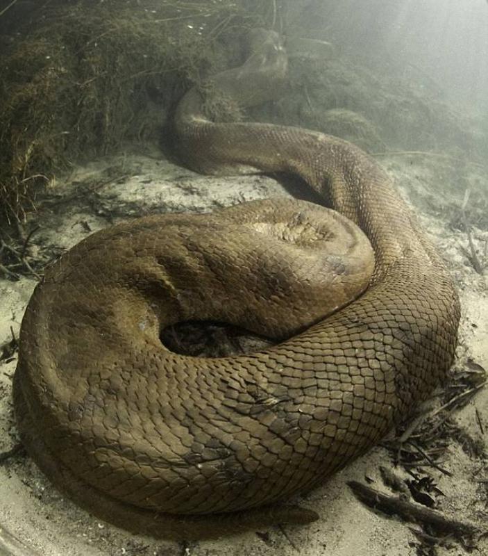 066 Дайвер сделал потрясающие фото анаконды под водой