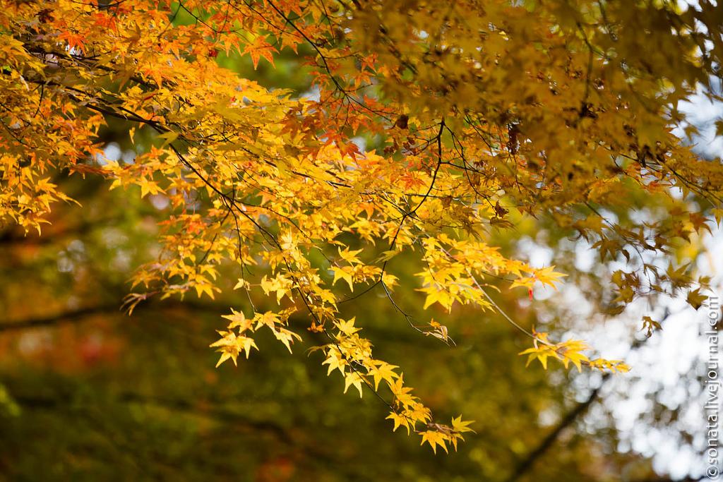 1119 Клёны в ботаническом саду Кобе