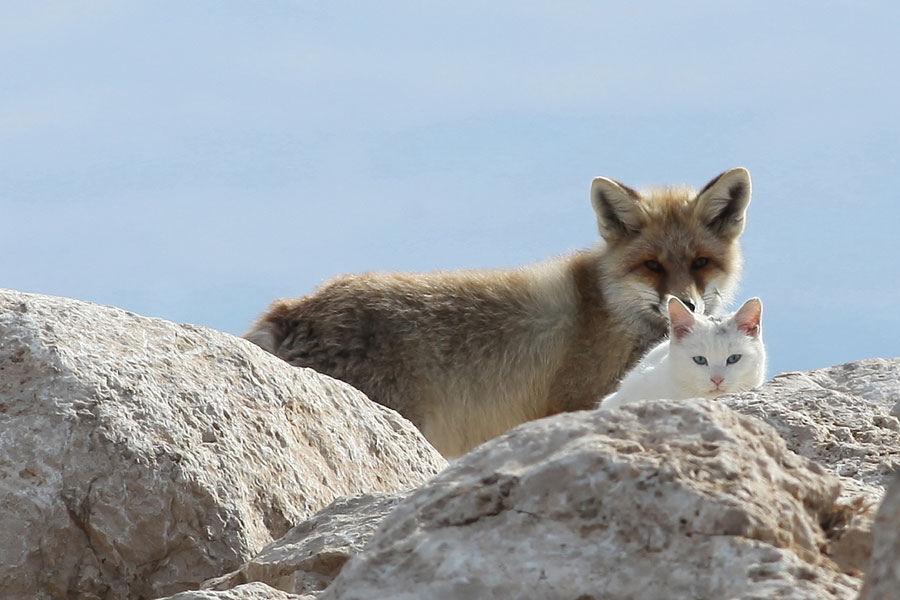 127 Кот и лис   лучшие друзья