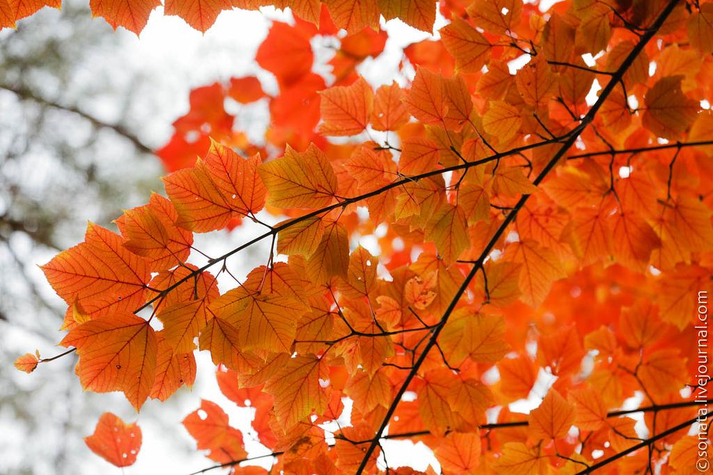 178 Клёны в ботаническом саду Кобе