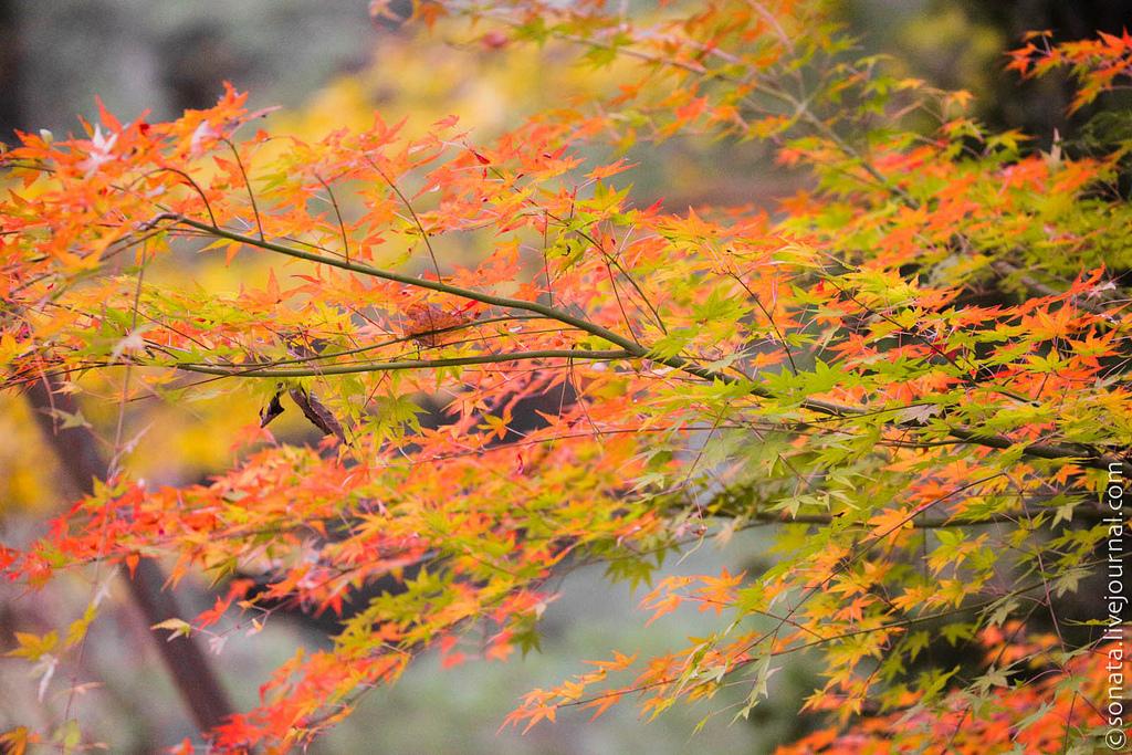 206 Клёны в ботаническом саду Кобе