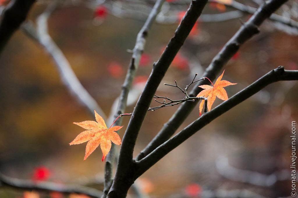 2310 Клёны в ботаническом саду Кобе