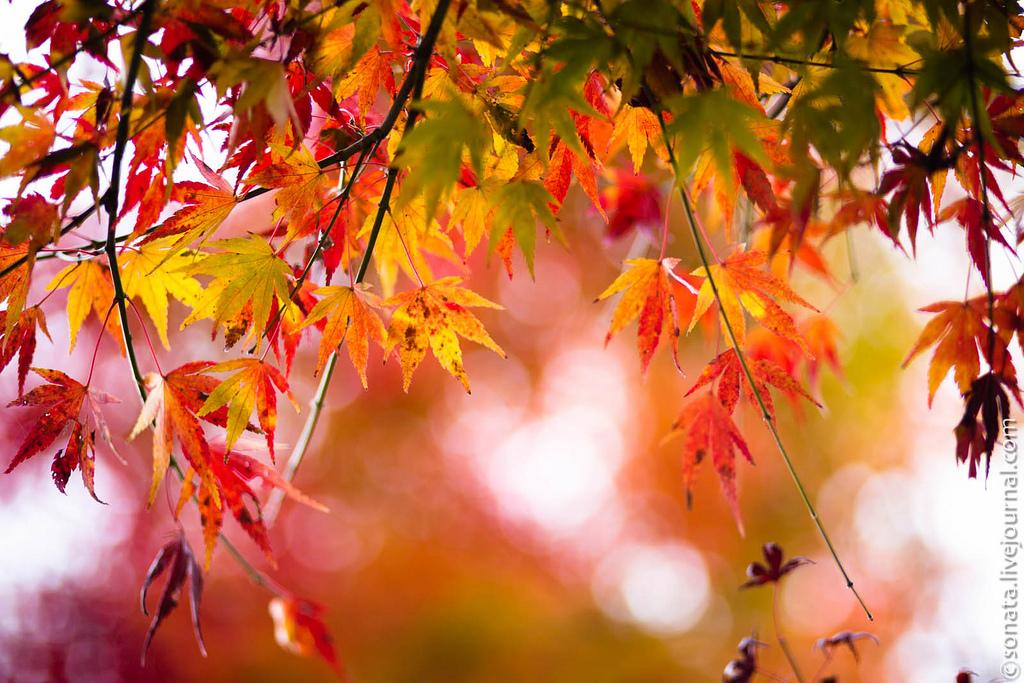 249 Клёны в ботаническом саду Кобе