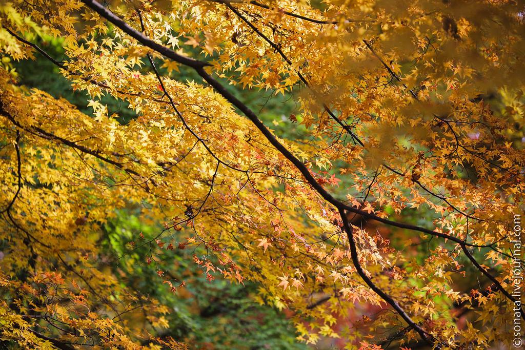 257 Клёны в ботаническом саду Кобе