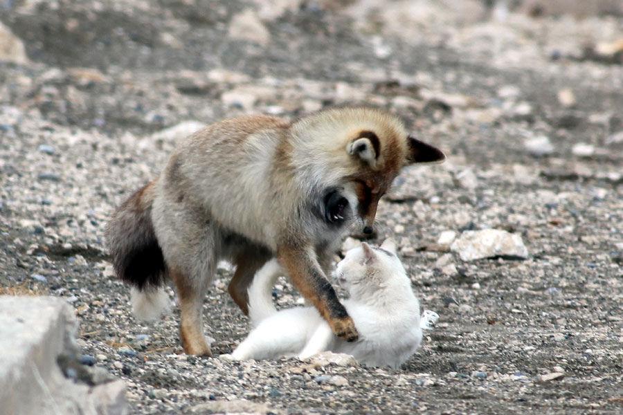 Кот и лис — лучшие друзья
