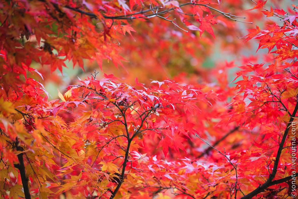 85 Клёны в ботаническом саду Кобе