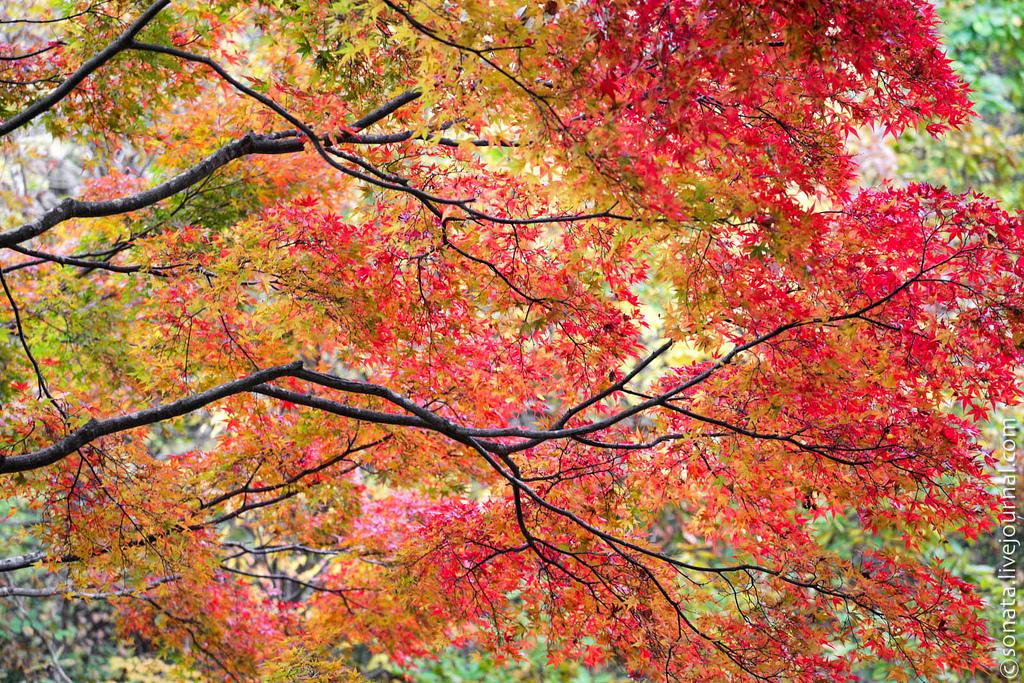 95 Клёны в ботаническом саду Кобе