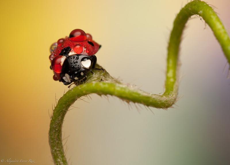 Ladybugs 10 Божьи коровки в каплях дождя