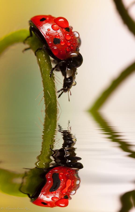 Ladybugs 12 Божьи коровки в каплях дождя