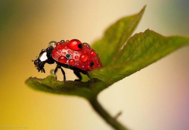 Ladybugs 2 Божьи коровки в каплях дождя