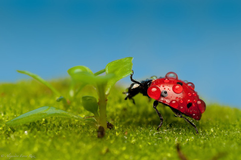 Ladybugs 3 Божьи коровки в каплях дождя