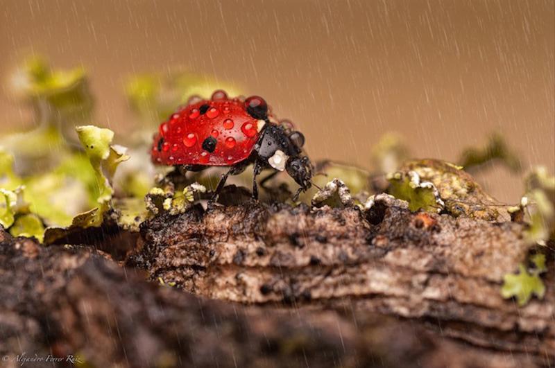 Ladybugs 4 Божьи коровки в каплях дождя