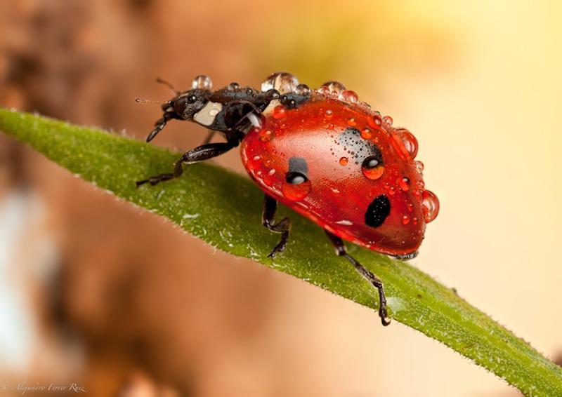 Ladybugs 5 Божьи коровки в каплях дождя