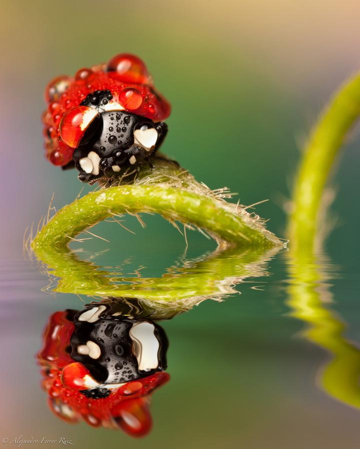 Ladybugs 6 Божьи коровки в каплях дождя