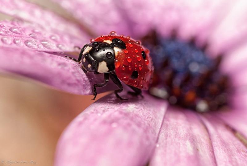 Ladybugs 7 Божьи коровки в каплях дождя