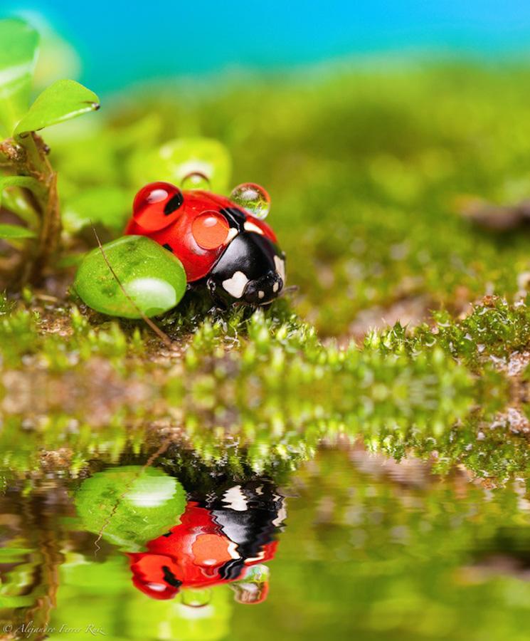 Ladybugs 8 Божьи коровки в каплях дождя