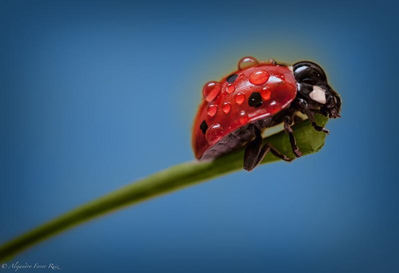 Ladybugs 9 Божьи коровки в каплях дождя