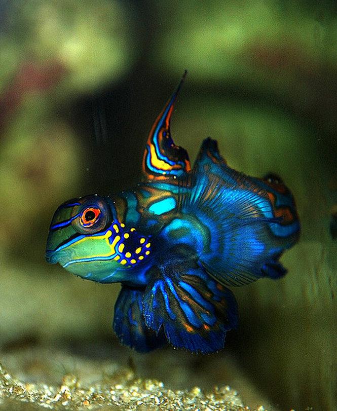 Рыбка мандаринка