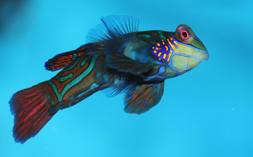 Рыбка мандаринка (Synchiropus splendidus)