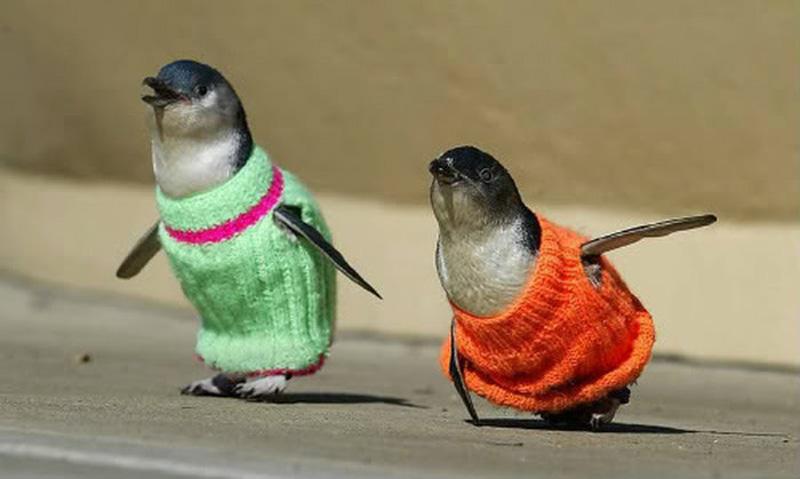 Зачем пингвину свитер?