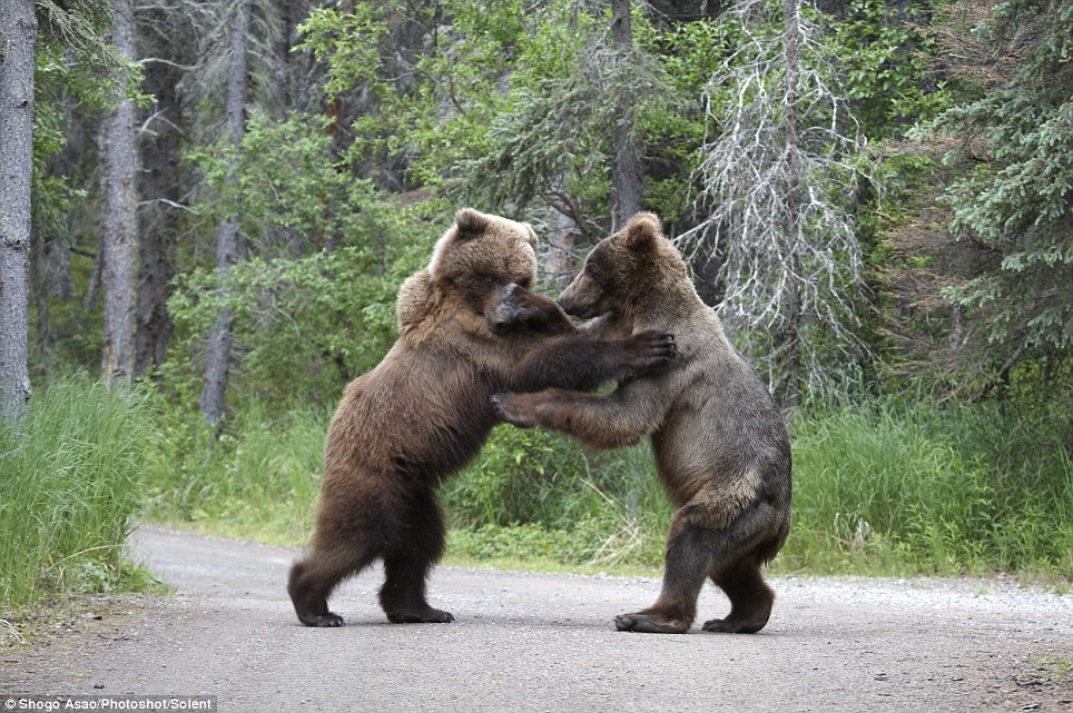 bear01 Битва двух гризли