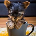Самая маленькая в мире собачка