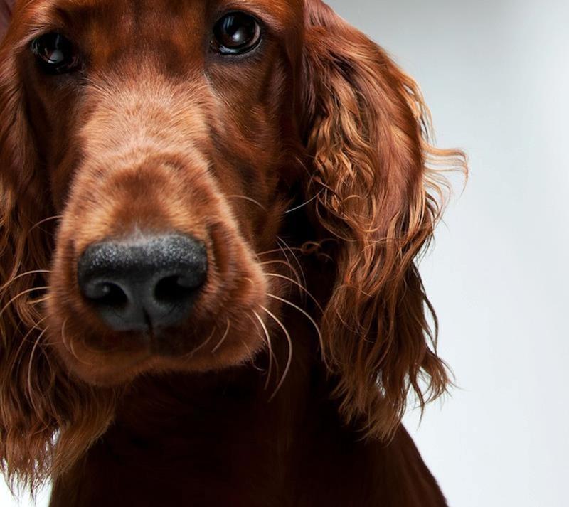 dogsportraits 2 Собачьи портреты от Жерарда Чарльза Гетингса
