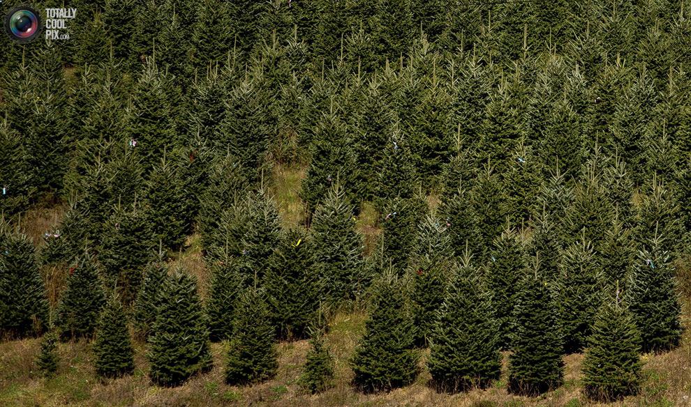 furtree01 Как готовят рождественские елки в Америке