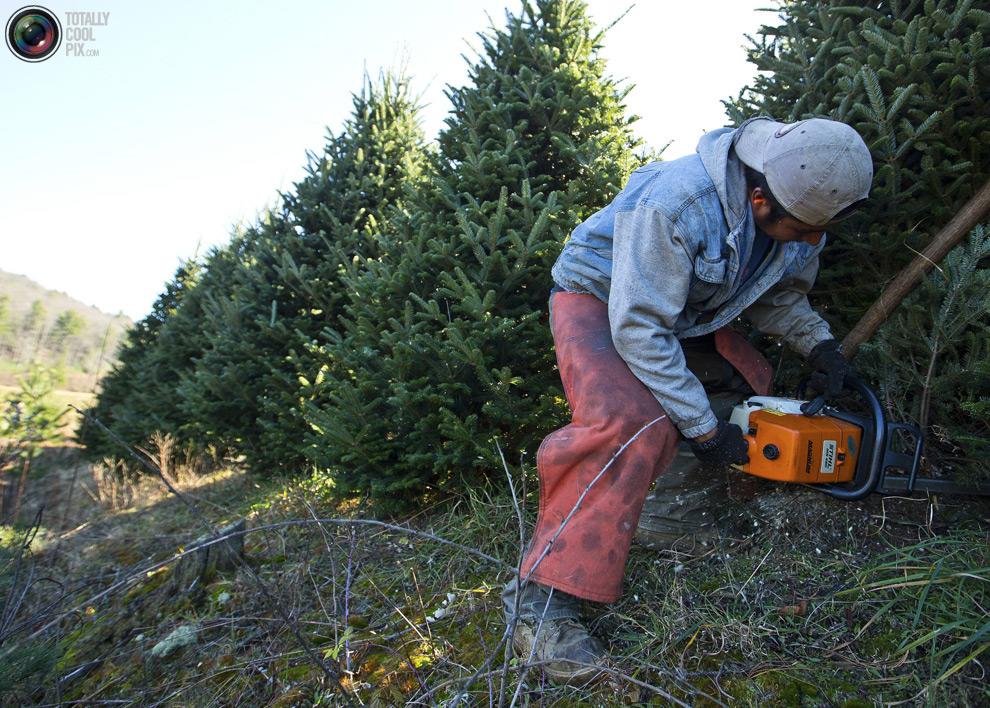 furtree03 Как готовят рождественские елки в Америке