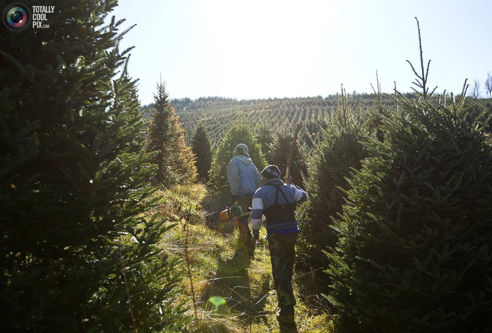 furtree04 Как готовят рождественские елки в Америке