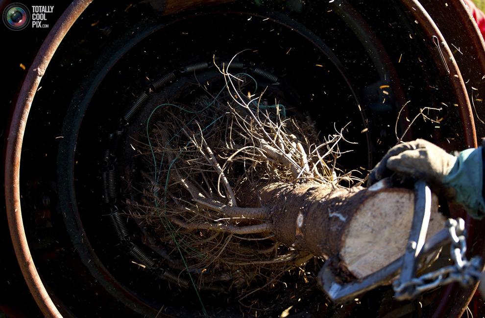furtree05 Как готовят рождественские елки в Америке