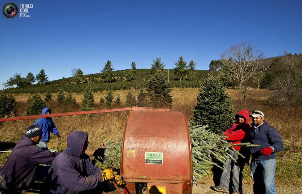 furtree06 Как готовят рождественские елки в Америке