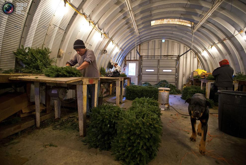 furtree09 Как готовят рождественские елки в Америке