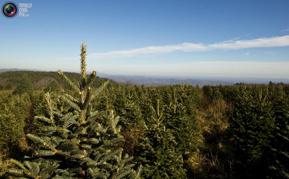 furtree10 Как готовят рождественские елки в Америке