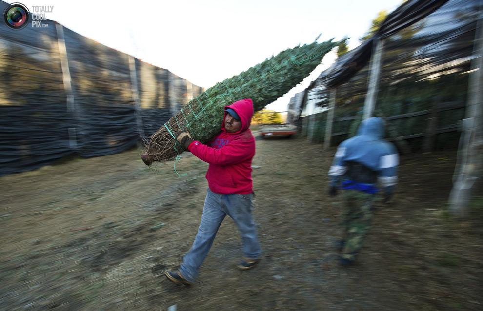 furtree12 Как готовят рождественские елки в Америке