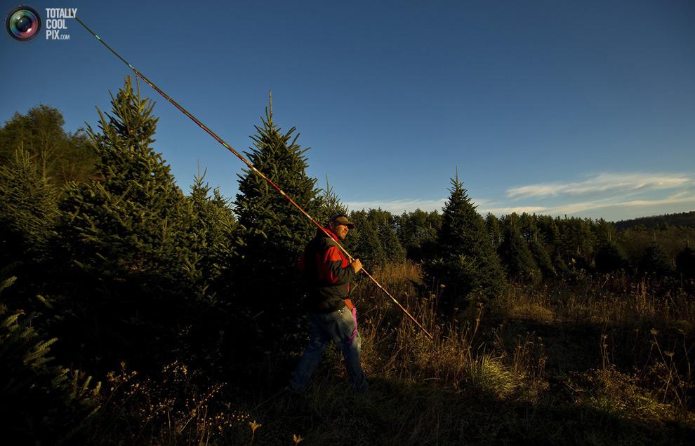 furtree13 Как готовят рождественские елки в Америке
