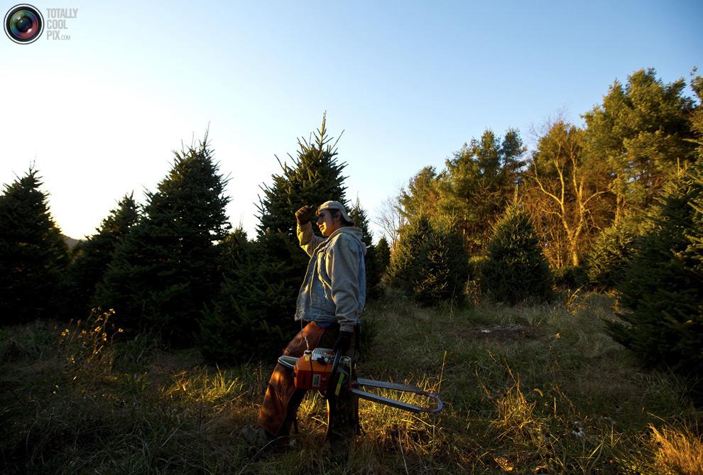 furtree14 Как готовят рождественские елки в Америке