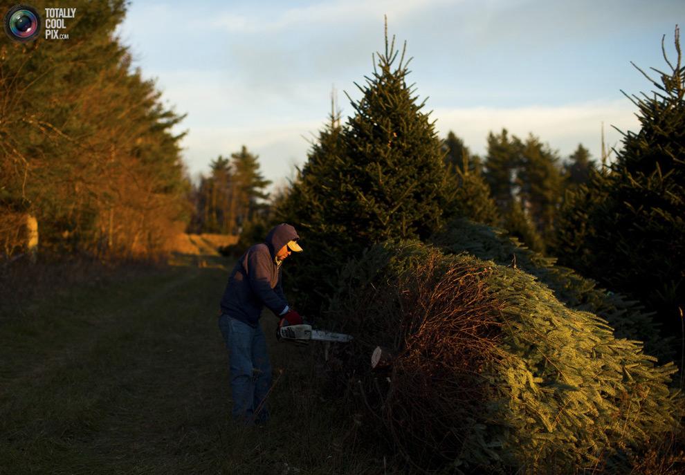 furtree15 Как готовят рождественские елки в Америке