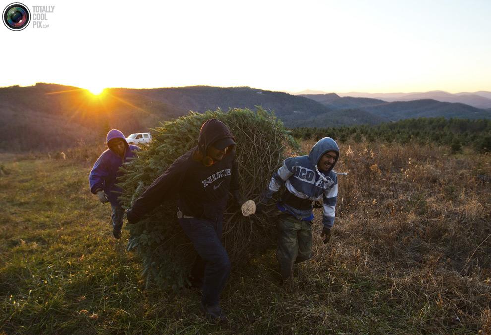 furtree16 Как готовят рождественские елки в Америке