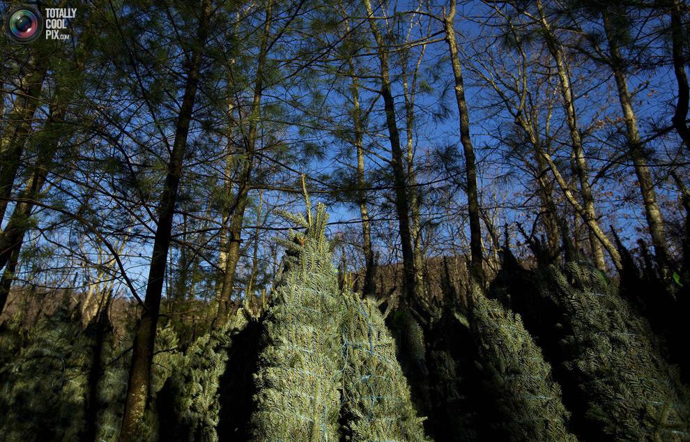 furtree17 Как готовят рождественские елки в Америке