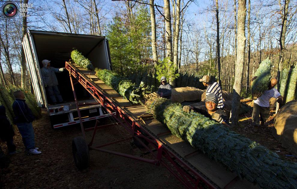 furtree19 Как готовят рождественские елки в Америке